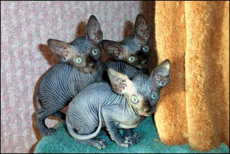 merveilleux chatons sphynx disponible